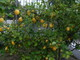 One of our many lemon,orange and other varieties of fruit trees in our gardens