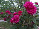 Roses in bloom in our garden